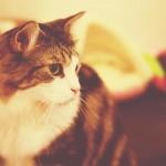 【高解像度】長毛の猫の横顔(ノルウェージャンフォレストキャット)(2パターン)
