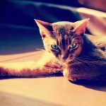 【高解像度】横たわる猫(アビシニアン)(2パターン)