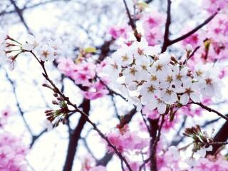 【高解像度】白とピンクの桜(3パターン)