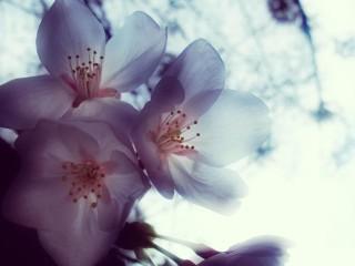 【高解像度】ぼんやり透ける桜(3パターン)