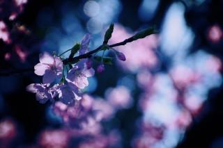 【高解像度】光の中の桜(3パターン)
