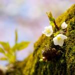 【高解像度】新芽が芽吹く桜の幹(3パターン)