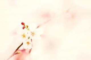 【高解像度】春色に溶け込む桜(3パターン)