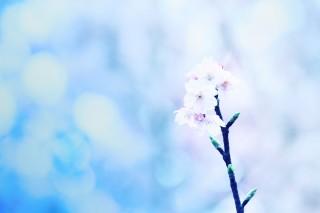 【高解像度】蕾をつける一枝の桜(3パターン)