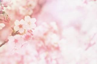 【高解像度】ふんわりした雰囲気の桜(3パターン)