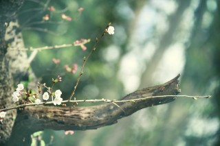 【高解像度】森の中の小枝に咲く桜(3パターン)