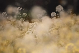 【高解像度】幻想的な雰囲気の菜の花畑(3パターン)
