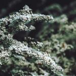 【高解像度】薄暗闇に咲くユキヤナギ(3パターン)