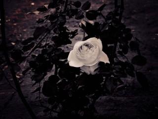 【高解像度】葉に囲われた薔薇(3パターン)