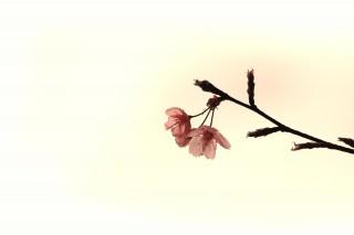 【高解像度】下を向いて咲く一枝の桜(3パターン)
