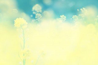 【高解像度】光に溶け込むような菜の花(3パターン)