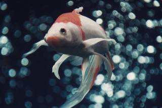 【高解像度】翻る金魚とたくさんの水泡(3パターン)