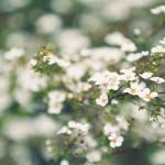 【高解像度】白く霞む雪柳(ユキヤナギ)(3パターン)