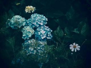 【高解像度】緑に囲まれた紫陽花(アジサイ)(3パターン)