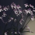 【高解像度】ぼんやりした光と岩千鳥(イワチドリ)(2パターン)
