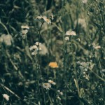【高解像度】草叢に咲くハルジオンとタンポポ(3パターン)