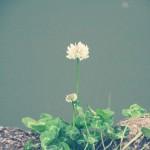 【高解像度】控えめに咲くシロツメクサ(3パターン)