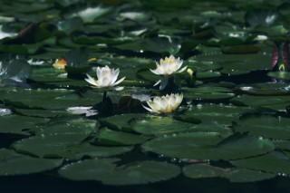 【高解像度】輝く白い睡蓮(スイレン)(3パターン)