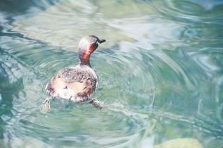 【高解像度】水面を泳ぐカイツブリ(3パターン)