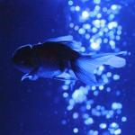 【高解像度】幽光の水中を泳ぐ金魚(3パターン)