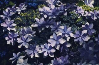 【高解像度】ひっそりと光を浴びる額紫陽花(ガクアジサイ)(3パターン)