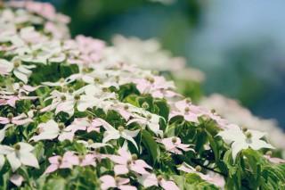 【高解像度】白とピンクの山法師(ヤマボウシ)(2パターン)