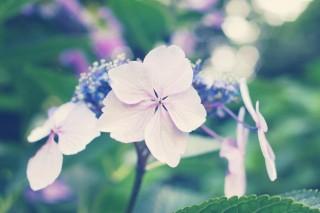 【高解像度】緑の中の額紫陽花(ガクアジサイ)(3パターン)