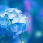 【高解像度】涼しげに澄んだ紫陽花(アジサイ)(3パターン)