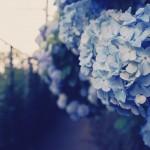 【高解像度】道路沿いに咲く紫陽花(アジサイ)(3パターン)