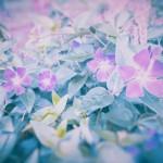 【高解像度】並んで咲く蔓日日草(ツルニチニチソウ)