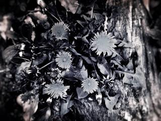 【高解像度】倒木を苗床にして咲くタンポポ