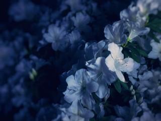 【高解像度】青白い躑躅