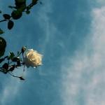 【高解像度】白い薔薇と空
