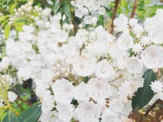 【高解像度】白いカルミア