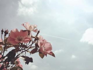 【高解像度】薔薇と飛行機雲