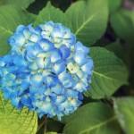 【高解像度】涼しげな紫陽花