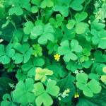 【高解像度】黄色い花とクローバー