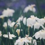 【高解像度】満開の白い花菖蒲(3パターン)