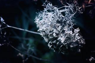 【高解像度】暗闇の中の枯れ紫陽花(3パターン)