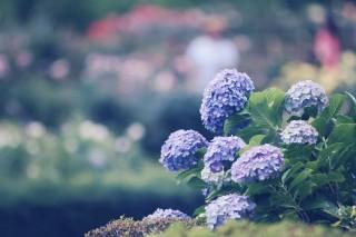【高解像度】紫陽花とカラフルな玉ボケ(3パターン)