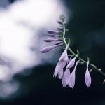 【高解像度】咲きかけの擬宝珠(ギボウシ)(3パターン)