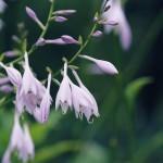 【高解像度】濃緑の中に咲く擬宝珠(ギボウシ)(3パターン)