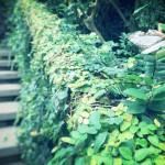 【高解像度】緑の階段とイシガケチョウ