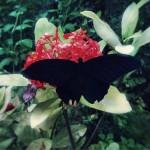 【高解像度】赤い花と黒い蝶