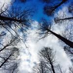 【高解像度】メタセコイアと空