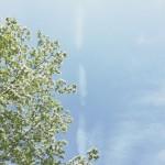 【高解像度】ハナミズキと飛行機雲の跡