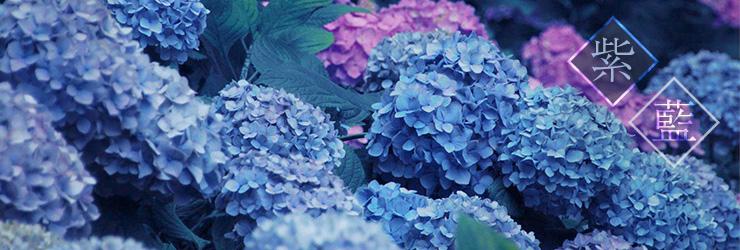 紫陽花(アジサイ)の素材