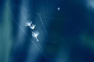 【高解像度】蜘蛛の巣に囚われるたんぽぽの綿毛(2パターン)