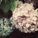 【高解像度】淡いピンク色の紫陽花