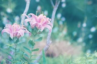 【高解像度】二輪のピンク色の百合(3パターン)